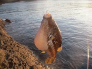 最初に釣れたのはキタマクラ