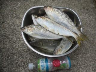今日の釣果,コノシロいっぱい!