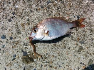 最初の魚はちゃりこ