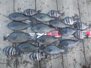 今日の全釣果.グレは24cm以上のみ.